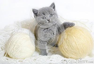 Chaton britannique avec le tricotage.