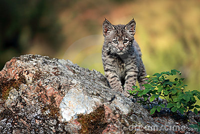 Chaton curieux de chat sauvage