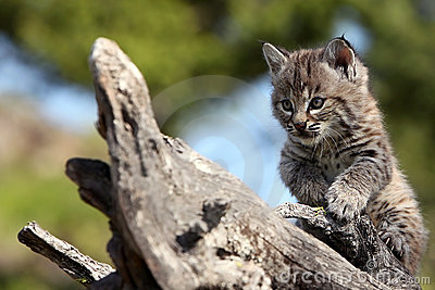 Chaton de chat sauvage