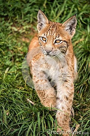 Chaton de lynx