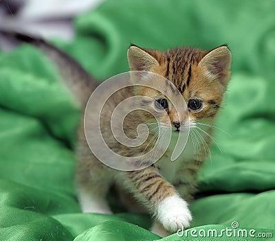 chaton sur un fond vert photo stock image 46115949. Black Bedroom Furniture Sets. Home Design Ideas