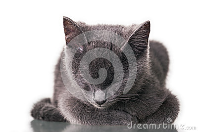Chatreaux Kitten Sleeping