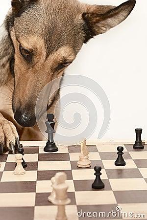 Free Check! Playing Chess Like A Dog Stock Photo - 1255800