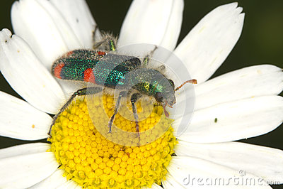 Checkered beetle Trichodes quadriguttatus