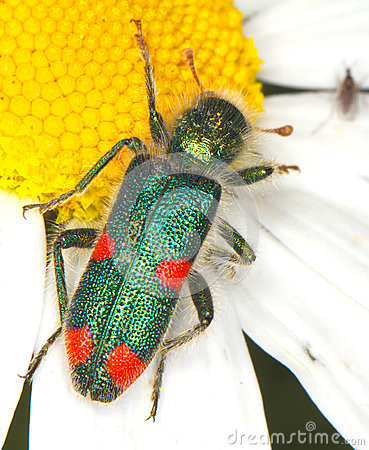 Checkered beetle Trichodes quadriguttatus