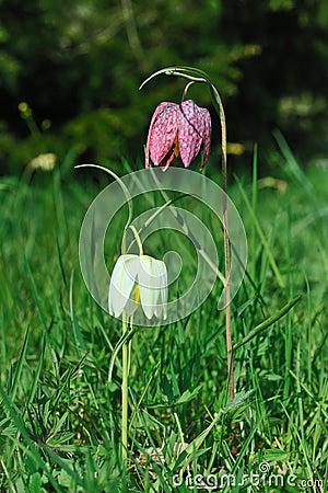 Checkered daffodil