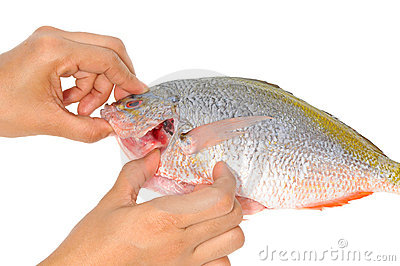 Checking The Gill Of A Fish