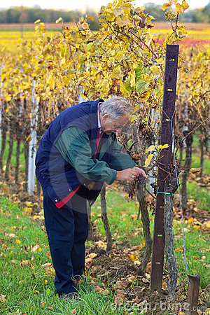 Free Checking The Grapes Royalty Free Stock Images - 344549