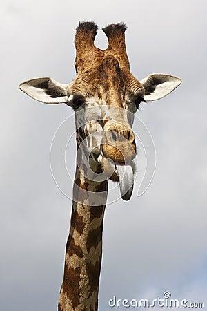 Free Cheeky Giraffe Royalty Free Stock Photos - 14912528