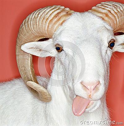 Cheeky ram