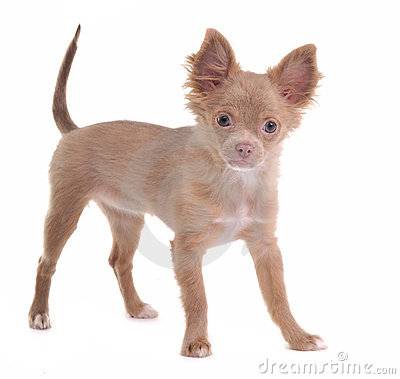 Cheerful chihuahua puppy looking at camera