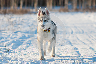Cheerful husky