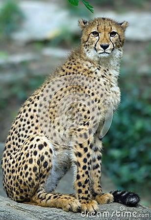 Free Cheetah Stock Photos - 1191193