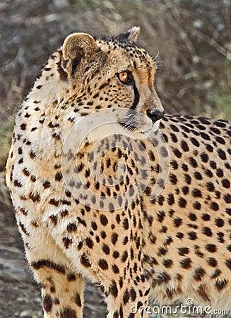 Free Cheetah Royalty Free Stock Images - 13881129