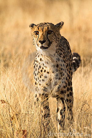 Free Cheetah Stock Photography - 17925592