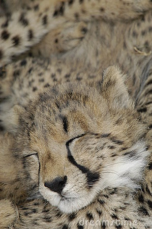 Cheetah (Acinonux jubatus) cubs, South Africa