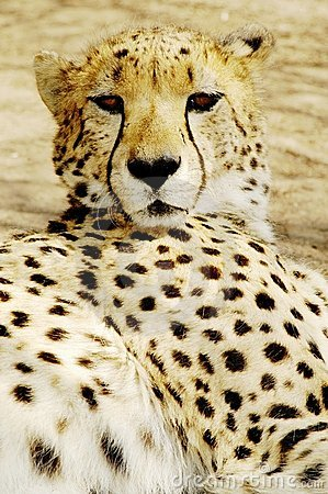 Cheetah (Acinonux jubatus) cubs, South Africa