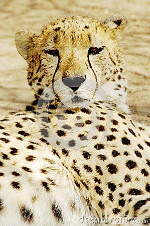 Free Cheetah (Acinonux Jubatus) Cubs, South Africa Royalty Free Stock Photo - 369135