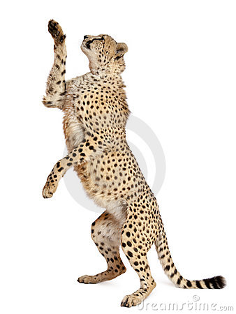Free Cheetah, Acinonyx Jubatus Royalty Free Stock Image - 20252816
