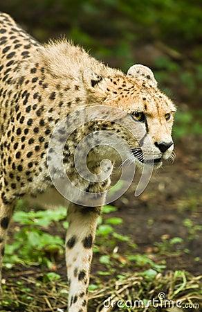 Cheetah or Acinonyx jubatus