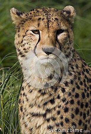Cheetah (Acinonyx jubatus) - Botswana