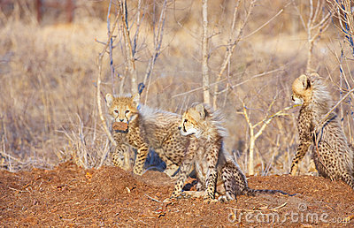 Cheetah (Acinonyx jubatus) cubs