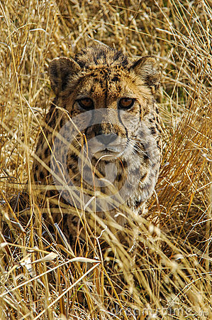 Cheetah (Acinonyx jubatus) in the savanna