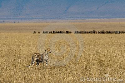 Cheetah on African plains
