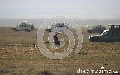 Cheetah against Safari