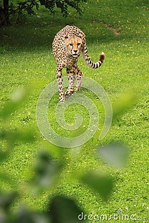 Cheetah alert reaction