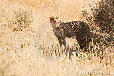 Cheetah with blood on face