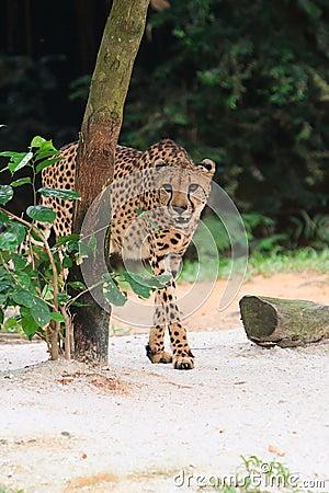 Cheetah Coming Out