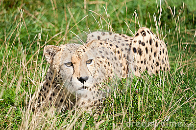 Cheetah Crouching Amongst Long Grass