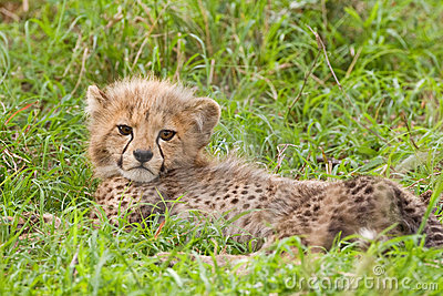 Cheetah Cub Royalty Free Stock Photo - Image: 7620315