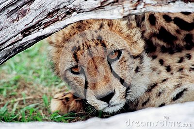 Cheetah cub looking under tree trunk