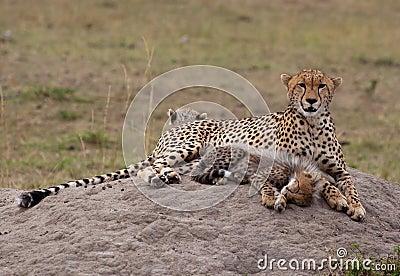 Cheetah Cub & Mother, Resting
