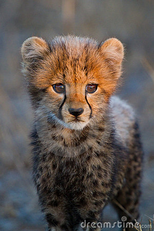 Free Cheetah Cub Portrait Royalty Free Stock Photo - 21624335