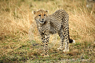 Cheetah cub standing watchful in the grass