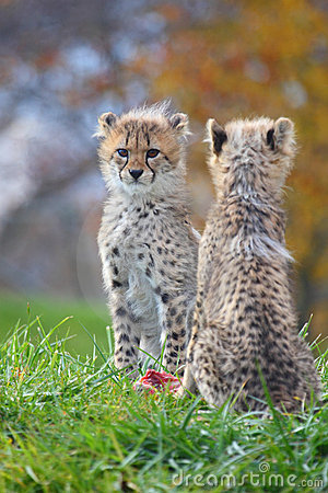 Free Cheetah Cubs Stock Image - 11458581