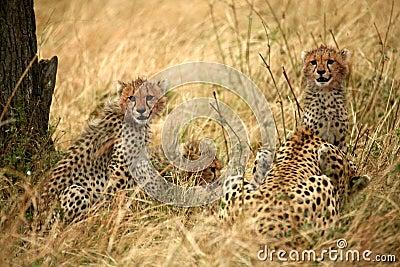 Cheetah cubs in the grass