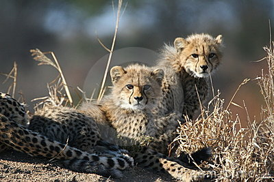 Cheetah cubs an mother