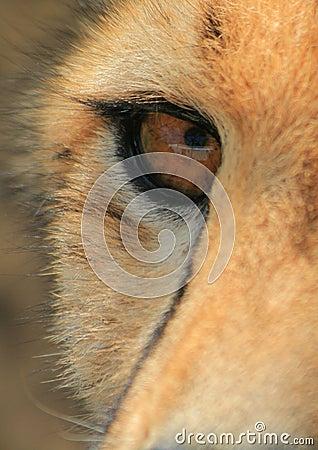 Cheetah eye close-up