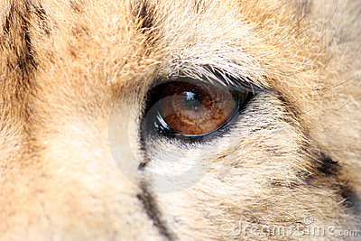 Cheetah eye detail