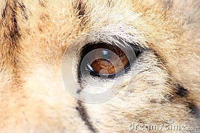 Cheetah eye detail