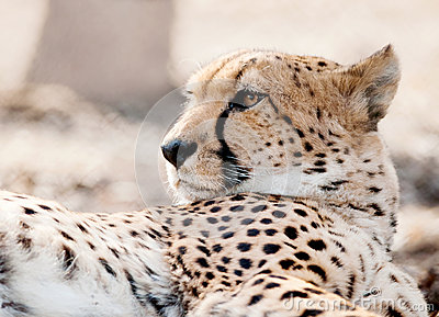 Cheetah Fur Close Up Cheetah Face Cl...