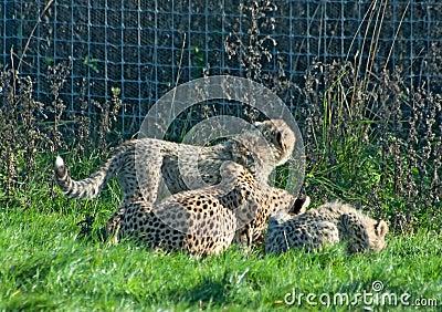 Cheetah family eats
