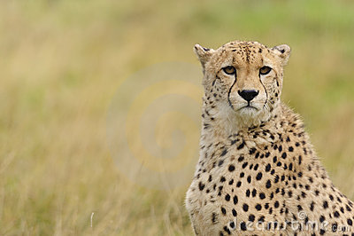 Cheetah in a field of brown grass
