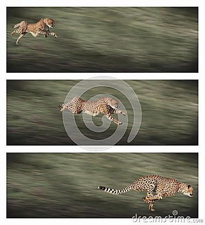 Free Cheetah Frames Royalty Free Stock Photos - 16555858