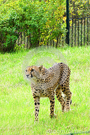 Cheetah, friendly animals at the Prague Zoo.