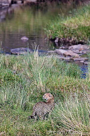 Cheetah goes to the river the and looks back